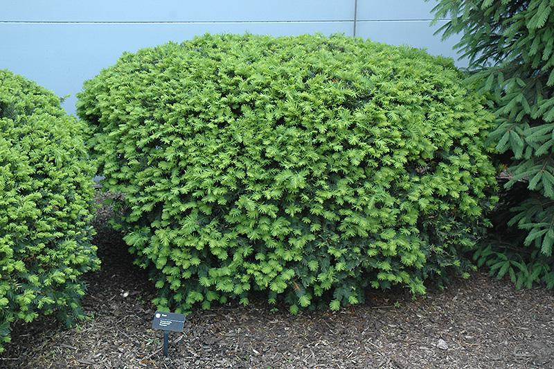 Yew Shrub Pruning Gallery For > Yew S...