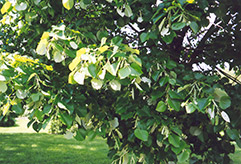 Silver Linden (Tilia tomentosa) at Town And Country Gardens