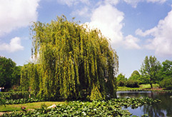 Golden Weeping Willow (Salix alba 'Tristis') at Town And Country Gardens