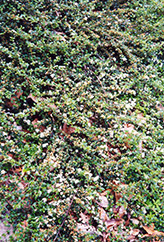 Spreading Cotoneaster (Cotoneaster divaricatus) at Town And Country Gardens