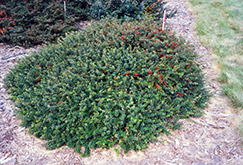 Kobold Japanese Barberry (Berberis thunbergii 'Kobold') at Town And Country Gardens