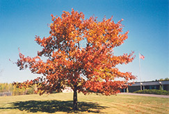 Red Oak (Quercus rubra) at Town And Country Gardens