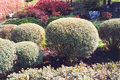 Dwarf Arctic Willow (Salix purpurea 'Gracilis') at Town And Country Gardens
