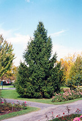 Norway Spruce (Picea abies) at Town And Country Gardens