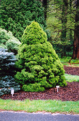 Dwarf Alberta Spruce (Picea glauca 'Conica') at Town And Country Gardens