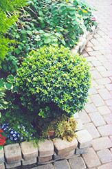 Korean Boxwood (Buxus microphylla 'var. koreana') at Town And Country Gardens