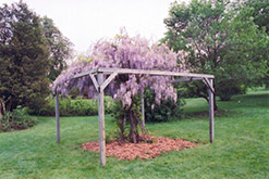 Aunt Dee Wisteria (Wisteria macrostachya 'Aunt Dee') at Town And Country Gardens