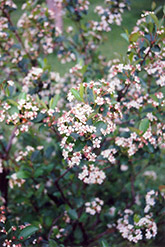 Black Chokeberry (Aronia melanocarpa) at Town And Country Gardens