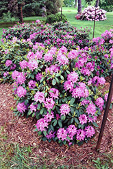 Roseum Elegans Rhododendron (Rhododendron catawbiense 'Roseum Elegans') at Town And Country Gardens