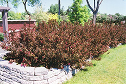 Wine and Roses® Weigela (Weigela florida 'Alexandra') at Town And Country Gardens
