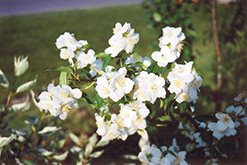 Blizzard Mockorange (Philadelphus 'Blizzard') at Town And Country Gardens