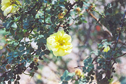 Harrison's Yellow Rose (Rosa foetida 'Harrison's Yellow') at Town And Country Gardens