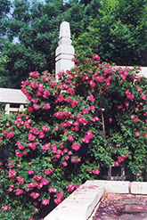 William Baffin Rose (Rosa 'William Baffin') at Town And Country Gardens
