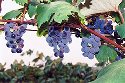 Concord Grape (Vitis 'Concord') at Town And Country Gardens