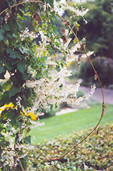 Silver Lace Vine (Polygonum aubertii) at Town And Country Gardens