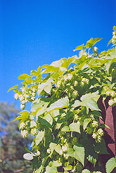 Hops (Humulus lupulus) at Town And Country Gardens