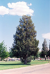 Rocky Mountain Juniper (Juniperus scopulorum) at Town And Country Gardens