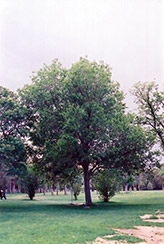 Common Mulberry (Morus alba) at Town And Country Gardens