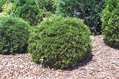 Hetz Midget Arborvitae (Thuja occidentalis 'Hetz Midget') at Town And Country Gardens