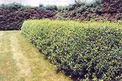 Cheyenne Common Privet (Ligustrum vulgare 'Cheyenne') at Town And Country Gardens