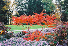 Cutleaf Staghorn Sumac (Rhus typhina 'Laciniata') at Town And Country Gardens