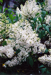 Mount Baker Lilac (Syringa x hyacinthiflora 'Mount Baker') at Town And Country Gardens
