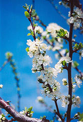 Mount Royal Plum (Prunus 'Mount Royal') at Town And Country Gardens