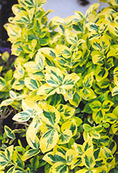 Sungold Wintercreeper (Euonymus fortunei 'Sungold') at Town And Country Gardens