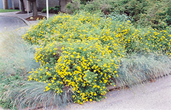 Goldfinger Potentilla (Potentilla fruticosa 'Goldfinger') at Town And Country Gardens