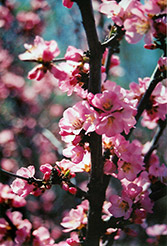 Flowering Plum (Prunus triloba) at Town And Country Gardens