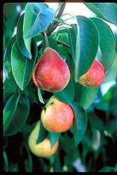 Summercrisp Pear (Pyrus 'Summercrisp') at Town And Country Gardens