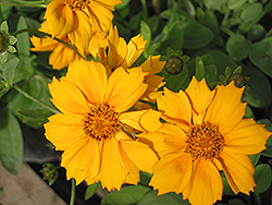 Zamphir Tickseed (Coreopsis verticillata 'Zamphir') at Town And Country Gardens