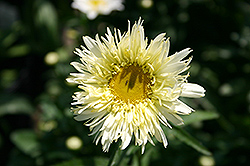 Gold Rush Shasta Daisy (Leucanthemum x maximum 'Goldrush') at Town And Country Gardens