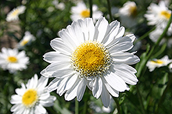 Sunny Side Up Shasta Daisy (Leucanthemum x superbum 'Sunny Side Up') at Town And Country Gardens