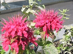 Pink Supreme Beebalm (Monarda didyma 'Pink Supreme') at Town And Country Gardens