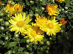 Michelle Chrysanthemum (Chrysanthemum 'Michelle') at Town And Country Gardens