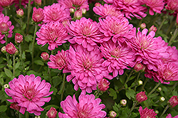 Jacqueline Chrysanthemum (Chrysanthemum 'Jacqueline') at Town And Country Gardens