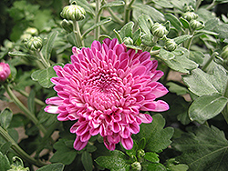 Debonair Chrysanthemum (Chrysanthemum 'Debonair') at Town And Country Gardens