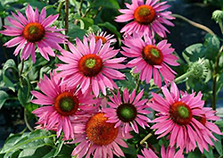 Green Eyes Coneflower (Echinacea purpurea 'Green Eyes') at Town And Country Gardens