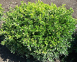 Antarctica Boxwood (Buxus microphylla 'Antzam') at Town And Country Gardens