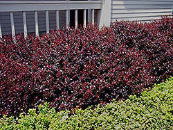 Crimson Ruby Barberry (Berberis thunbergii 'Criruzam') at Town And Country Gardens