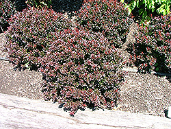 Pygmy Ruby Barberry (Berberis thunbergii 'Pygruzam') at Town And Country Gardens