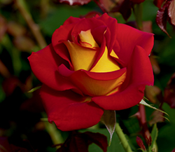 Ketchup And Mustard Rose (Rosa 'WEKzazette') at Town And Country Gardens