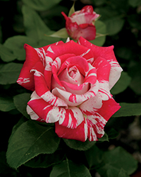 Neil Diamond Rose (Rosa 'WEKdereroro') at Town And Country Gardens