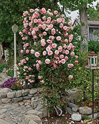 Pearly Gates Rose (Rosa 'WEKmeyer') at Town And Country Gardens