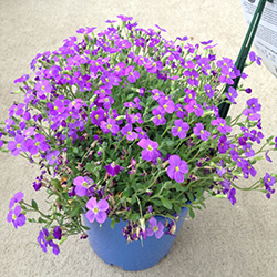 Audrey Blue Rock Cress (Aubrieta 'Audrey Blue') at Town And Country Gardens