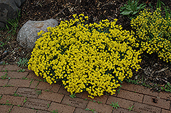 Gold Dust Basket Of Gold (Aurinia saxatilis 'Compacta') at Town And Country Gardens