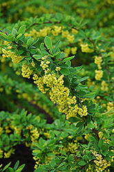 Emerald Carousel Barberry (Berberis 'Tara') at Town And Country Gardens