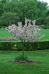 Coralburst Flowering Crab (Malus 'Coralburst') at Town And Country Gardens