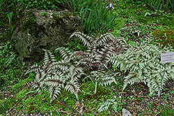 Japanese Painted Fern (Athyrium nipponicum 'Pictum') at Town And Country Gardens